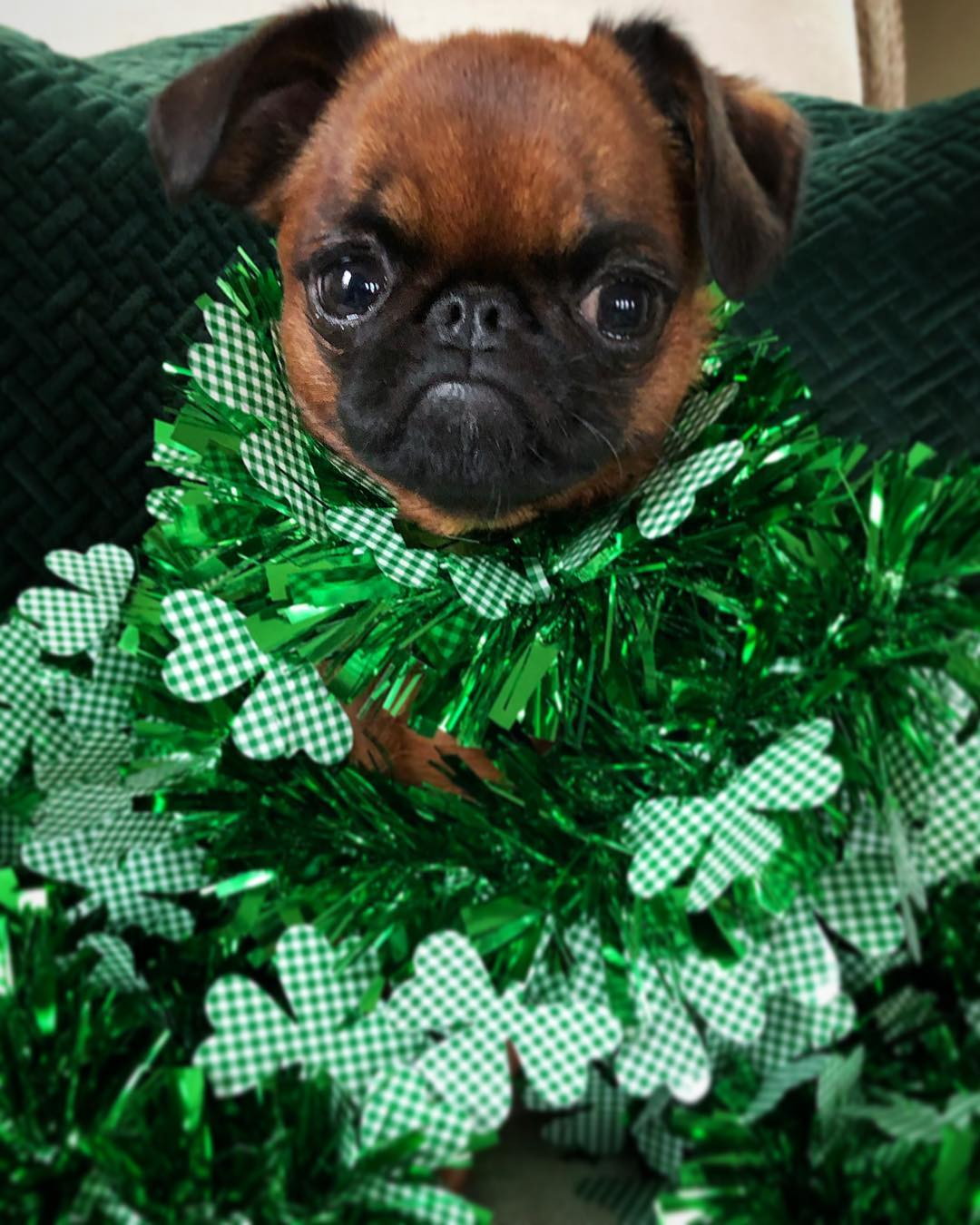 Happy St. Paddy's Day from Stanky P. McCloverbottom